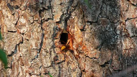 membranous : hornets nest in tree hollow - timelapse Stock Footage