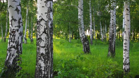 alberi bosco : estate betulla foresta in Russia Filmati Stock