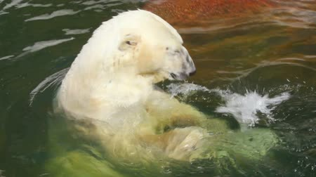 полярный : pleased polar bear in water