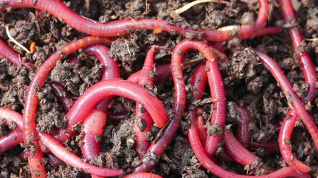 féreg : many red worms in dirt - bait for fishing