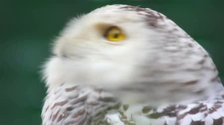 yaban hayatı : polar owl looking
