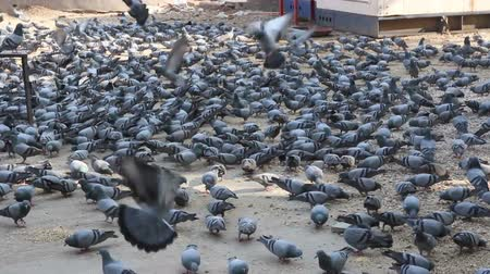 gołąb : many pigeons in Jaipur India