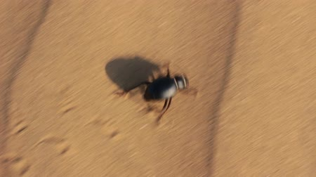 nap : scarab beetle running in desert