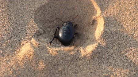 пустыня : scarab beetle digs hole in sand - macro