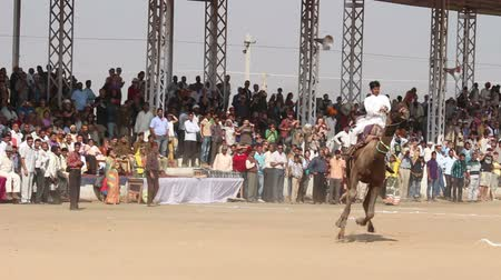 wielbłąd : Camel racing at Pushkar camel fair in India Wideo