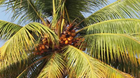 coconut palm tree : coconut palm under blue sky closeup Stock Footage