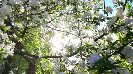 dal : sun shining through blossom apple tree branches Stok Video
