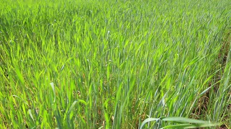 pszenica : green wheat close-up - dolly shot Wideo