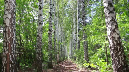 береза : summer birch woods alley in Russia - dolly shot Стоковые видеозаписи