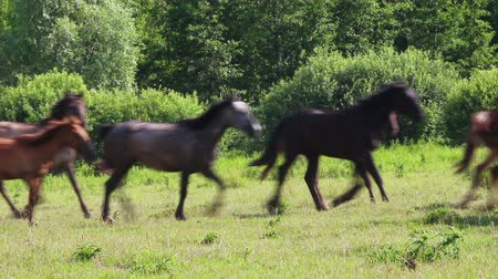 domestic animals : herd of horses running on pasture Stock Footage
