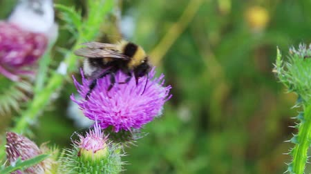 cardo : bumble-bee on thistle flower close-up