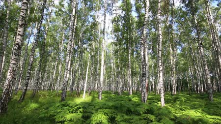 лесной : summer birch forest in Russia