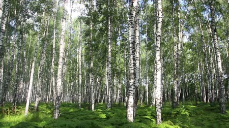 otlak : summer birch forest in Russia