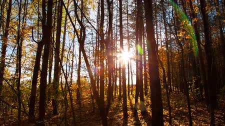 fall through : beautiful autumn forest with sun shining - dolly shot