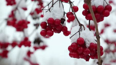 bouquets : snowball red branches under snow at winter