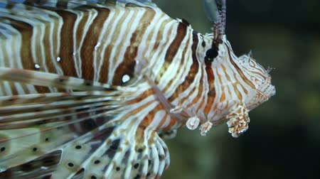 savci : lionfish zebrafish underwater close-up