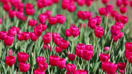 bordo : field of red tulips blooming - shallow depth of field