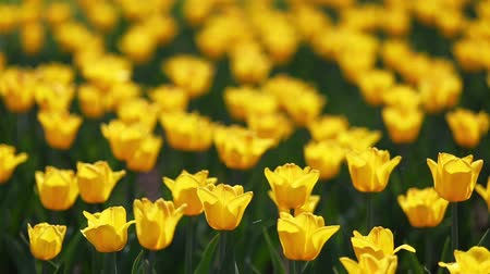 canteiro de flores : field of yellow tulips blooming - shallow depth of field Vídeos