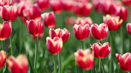 tulipany : blooming red tulips with white border varieties of Leen van der Mark - shallow depth of field