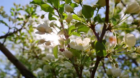 ramos : sun shining through blossom apple tree branches Stock Footage