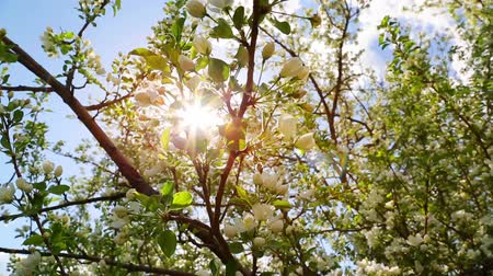 dal : sun shining through apple tree branches - slider dolly shot