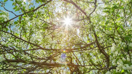 dal : sun shining through apple tree branches shot in RAW Stok Video