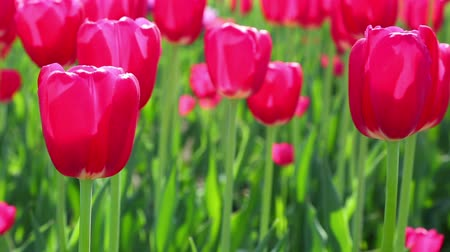 canteiro de flores : red tulips blooming closeup - slider dolly shot  Vídeos
