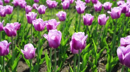 tulipany : purple with white border tulips blooming varieties of Arabian Mystery - slider dolly shot  Wideo