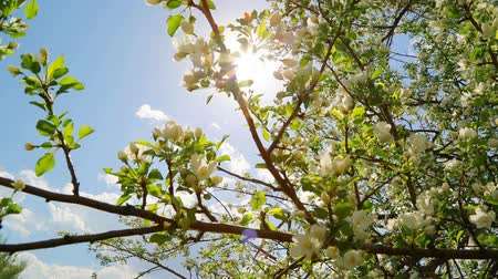 ramos : sun shining through blossom apple tree branches - slider dolly shot