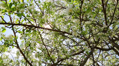 pereira : sun shining through blossom apple tree branches Stock Footage