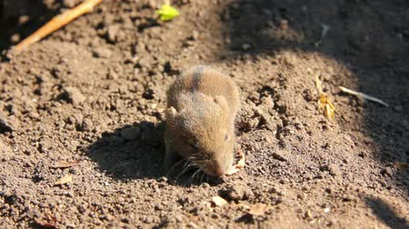 fare : little mouse in the field