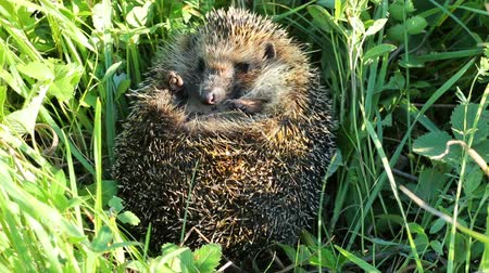 prickly : hedgehog curled in the grass