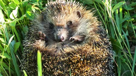 еж : hedgehog curled in the grass