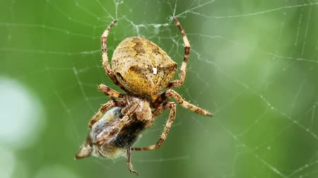 presa : spider eats its prey - macro shot