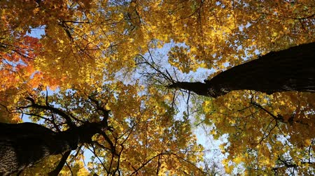 autumn yellow tree tops - slider dolly shot Stock Footage