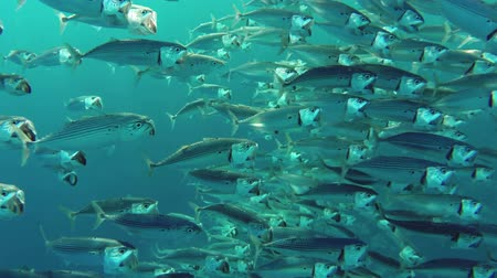 birlik : school of Indian mackerel (Rastrelliger kanagurta) feeding in Red Sea, Egypt