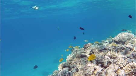 ekosistem : Many fish swim among corals in the Red Sea - Egypt
