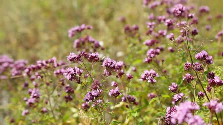 oregano : Oregano flowers and bee closeup (origanum vulgare) Stock Footage