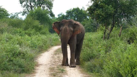 fil : wild indian elephant walking on road to camera 4k