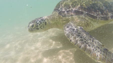 podwodny swiat : large sea turtle underwater close-up