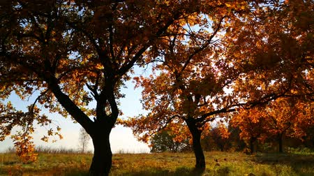 autumn : beautiful autumn trees with sun shining - dolly shot