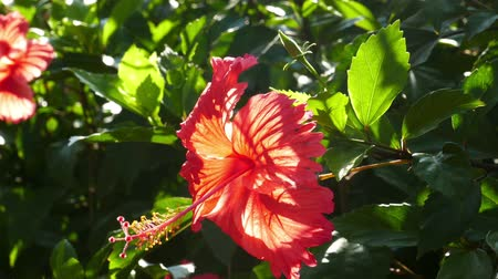 mallow : red hibiscus flower closeup Stock Footage