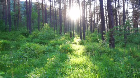 луг : walk in the summer forest at sunset