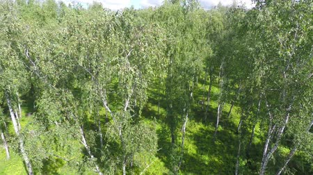 над : flying up over summer birch forest