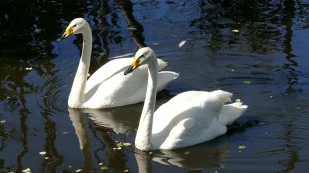 eleganckie : pair of whooper swan on lake Wideo