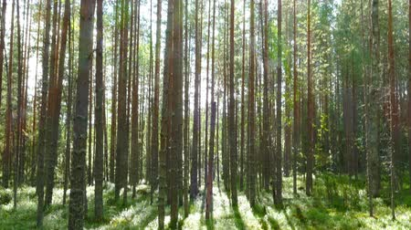 zálesí : landscape with shadows of trees in the north forest, Karelia Dostupné videozáznamy
