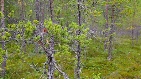 fince : northern forest landscape, Karelia, Russia Stok Video
