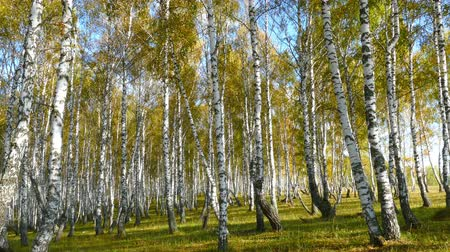 autumn : autumn birch forest, 4k