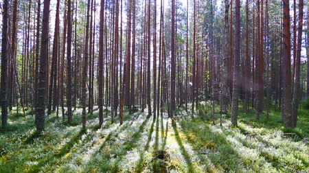 zálesí : landscape with shadows of trees in the north forest, Karelia, tilt view Dostupné videozáznamy