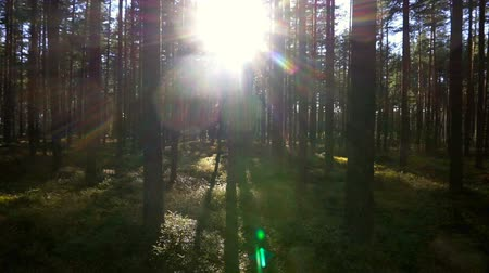 raios solares : walking in the north forest, Karelia, Russia